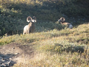 Big Horn Sheep on Wilcox Pass Trail