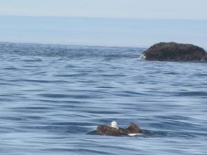 Swimming Bal Eagle