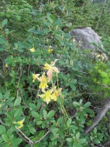 Wildflowers 1 YOHO