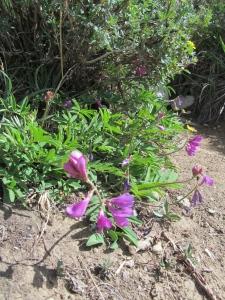 Wild Flower Wilcox