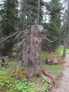Misty tree Wilcox